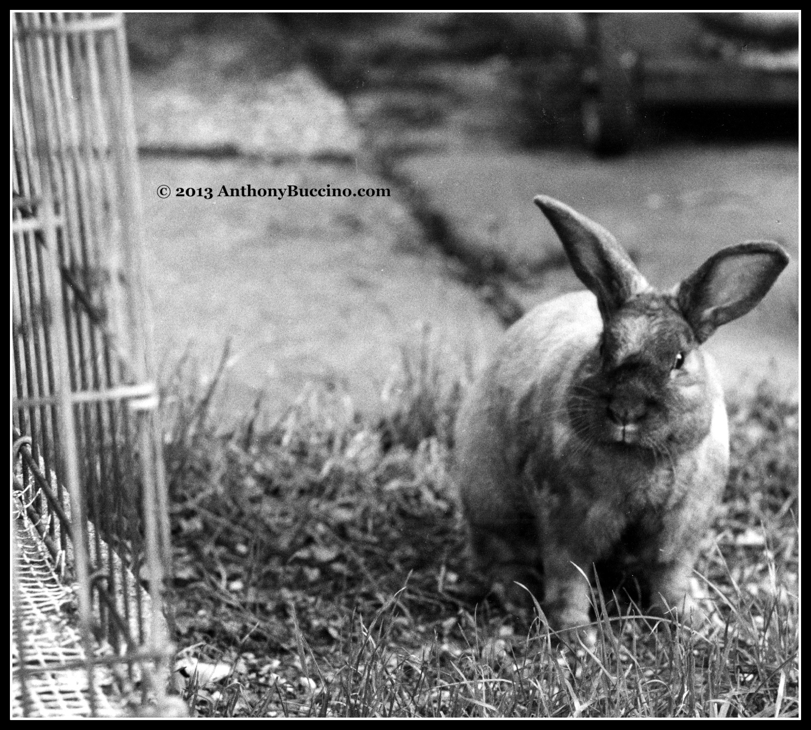 Murphy the rabbit, photo by Anthony Buccino, all rights reserved