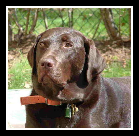 Zamboni, our chocolate Labrador retriever, likes long walks over short distances
